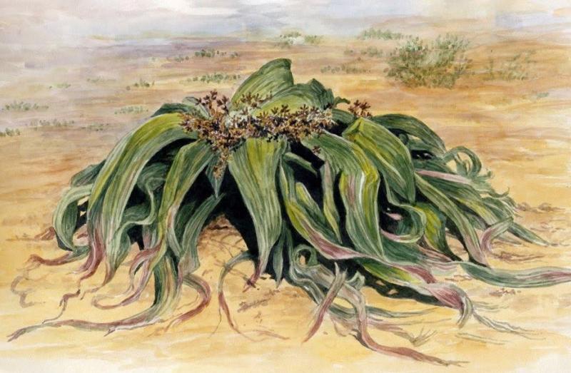 Iki Tuhaf Bitki Welwitschiae Mirabilis Ve Amorphophallus Titanum