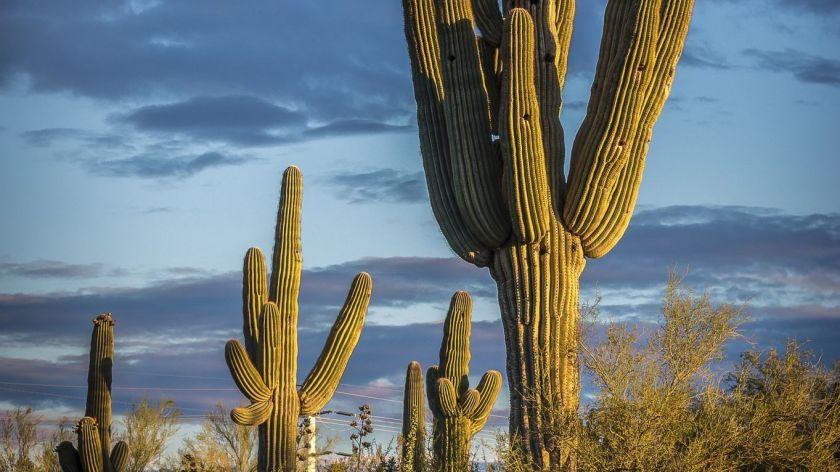 Çölün Devi Saguaro Kaktüsü   Açık Radyo 94.9
