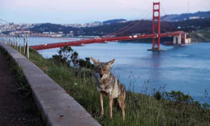 Geçenlerde San Francisco'da Golden Gate köprüsünde çakallar görüntülendi. Fotoğaf: Shannon Stapleton/Reuters